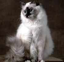 The Birman Cat Breed: Birmans are affectionate, gentle, and faithful companions with an air of dignity that seems to invite adoration by their human companions. Like A Cat, I Love Cats, Cute Cats, Domestic Cat Breeds, Birman Cat, Sleeping Kitten, Pet News, Cute Animals, Kitty