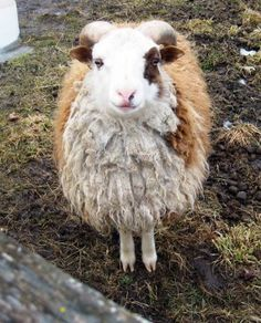 i met a soulful shetland ram this weekend who liked to have his chin scratched. didn't exactly look like this guy, but i bet this guy has similar tastes