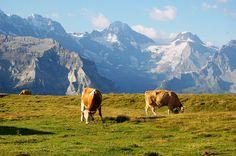 牛たちとカウベル
