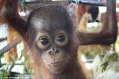 Rescuers freed 10-month-old Noel from a small wooden cage in Siduk, Indonesia.    He was locked up by locals after his home was destroyed during the construction of a new oil plantation.  Noel is now being looked after at the Ketapang Rescue Centre in Borneo, Indonesia.