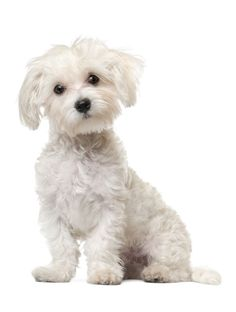 Learn about common Maltese health issues and other facts. See how Petplan's Maltese insurance can save you up to on vet bills Cute Puppies, Cute Dogs, Dogs And Puppies, Doggies, Perros French Poodle, Maltese Haircut, Dog Haircuts, Maltipoo Haircuts, Maltese Dogs