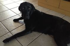 Ellie May is a gorgeous, old bundle of energy. Labrador Retriever Rescue, Foster Dog, 2 Year Olds, The Fosters, Adoption, Dogs, Animals, Animales, Animaux