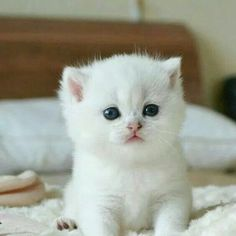My attitude is my lifr dont forgette this hmmm. Cute Fluffy Kittens, Cute Baby Cats, Cute Little Kittens, Cute Little Animals, Beautiful Cats, Animals Beautiful, Cutest Kittens Ever, Gato Anime, White Cats