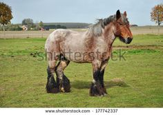 Dutch Heavy Draft Horse in a meadow near Sint Philipsland in the province of Zealand, the Netherlands - stock photo