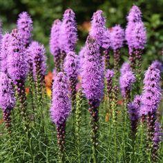 Spiked Blazingstar   Liatris Spicata. Garden CentreGarden ...