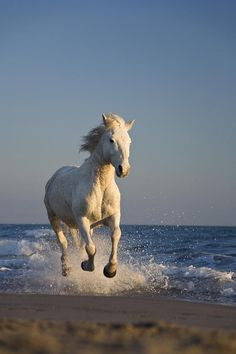 Camargue, an ancient breed of horse indigenous to the Camargue area in southern France. Its origins remain relatively unknown, although it is generally considered one of the oldest breeds of horses in the world.