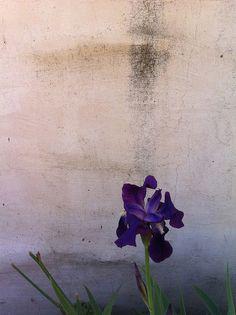 iris by drollgirl, via Flickr