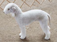 Conheça a raça Bedlington Terrier