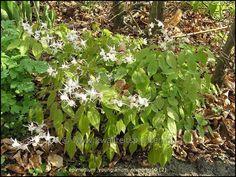 Epimedium grandiflorum (Elfenbloem) - schaduw 30cm april-mei