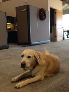 Flurry, our favorite yellow lab. #labrador #officedog