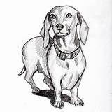 Portrait Of A Mini Dachshund Drawing