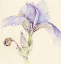 Close-up-Iris-150.jpg (482×500)