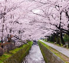 Japan.Kyoto. This street has been called Tetugakunomichi. Meaning of Tetugakunomichi is the way of philosophy.