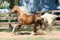 "Cha Ching Chex, or ""Drift,"" a gorgeous chocolate palomino American Quarter Horse."
