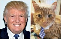 This article shows a few more cats that share the same hair as the famous Donald Trump!