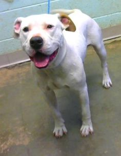 Augie - URGENT - Dekalb County Animal Shelter in Decatur, Georgia - ADOPT OR FOSTER - 2 year old Male American Pit Bull Mix