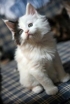 Ridiculously Beautiful Kitty