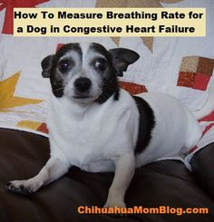 If your dog is in congestive heart failure, measuring his breathing rate is a key measure that vets and cardiologists will ask about almost every time you talk to them. As the heart's ability to pu…
