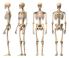 male-human-skeleton-four-views-front-backside-and-perspective-picture-id135853422 (451×380)
