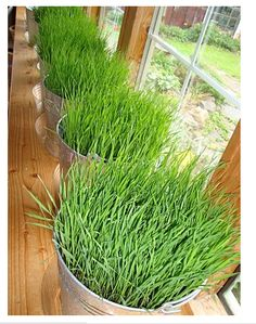 Pretty ways to grow this! DIY Bucket O' Grass {for indoors or outdoors} // Liquid Sunshine by maya*made: Growing Wheat, Growing Grass, Container Gardening, Gardening Tips, Garden Plants, Indoor Plants, Cat Grass, Creta, Window Sill