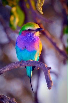 Lilac Breasted Roller bird.
