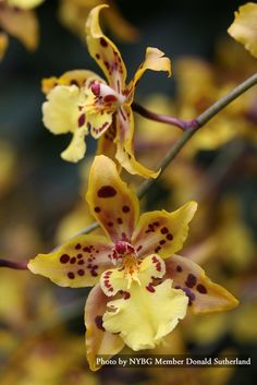 Orchid Show at NYBG, going!