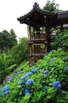 Hydrangea, Yoshiminedera temple, Kyoto 紫陽花 善峯寺 京都