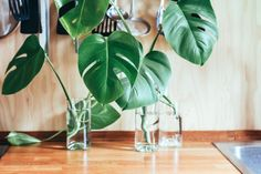 """It is safe to say that the monstera plant is absolutely breathtaking. Nicknamed the """"Swiss cheese plant"""" for its giant, holey leaves, the monstera is Monstera Deliciosa, Best Indoor Plants, Cool Plants, Plastic Spoon Crafts, Vase Transparent, Meditation Garden, Green Living Tips, Smart Garden, House Plant Care"""