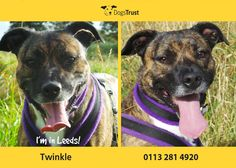 Twinkle is a lovely girl at Dogs Trust Leeds who is always pleased to see you. She is good with everyone and should be ok homed with older children. Twinkle is house trained and will need owners around all the time to help her settle into a new home.
