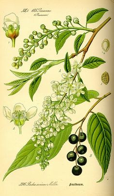 Bird Cherry  Illustration project idea