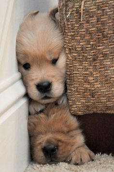 Smushed Puppies! I want to be right where you are-
