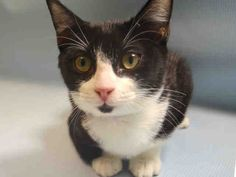 """KALISPELL - A1050581 - - Manhattan **TO BE DESTROYED 09/15/15** SECOND CHANCE!! BEGINNER-rated KALISPELL had a hold last night, but when this baby doll tested FELV+ that hold fell through. She is only 4 months old, but the ACC have decided that's as long as her life needs to be. Why not? They are the unassailable judge and jury when it comes to animals in their so-called """"care,"""" and if a highly adoptable, BEGINNER-rated kitten comes their way, they a"""