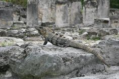 Mexican Spiny-tailed Iguana at The El Rey archaeological zone