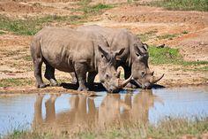 Rhinos drinkin