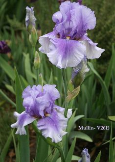 Iris JENNIFER STOUT by Ron Mullin, purple tall bearded iris at Stout Iris Gardens Dancingtree