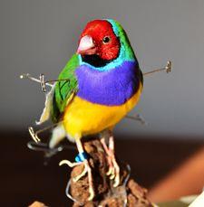 Gould Amadine.     Taxidermy    www.demuseumwinkel.com
