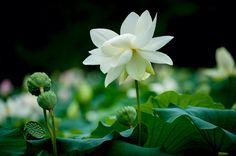 새미원 연꽃