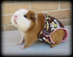 Awwwww.... the guinea pig so cute.. very love them.