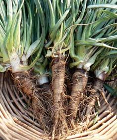 Salsify an old fashion root vegetable easy to grow and easy to use.