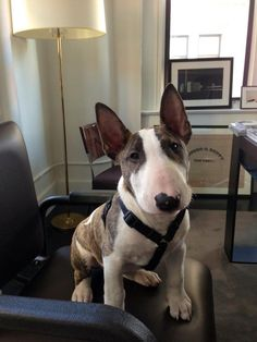 Uplifting So You Want A American Pit Bull Terrier Ideas. Fabulous So You Want A American Pit Bull Terrier Ideas. Perros Bull Terrier, Chien Bull Terrier, Mini Bull Terriers, Miniature Bull Terrier, Cairn Terrier, English Bull Terriers, Terrier Dogs, Pitbull Terrier, Fox Terriers