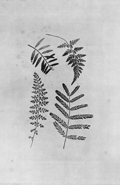 William Henry Fox Talbot (ferns)//