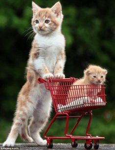 Professional momma Kitty - your daily dose of funny cats - cute kittens - pet memes - pets in clothes - kitty breeds - sweet animal pictures - perfect photos for cat moms Cute Kittens, Baby Kittens, Cats And Kittens, Kitty Cats, Kittens Meowing, Ragdoll Kittens, Tabby Cats, Bengal Cats, Kittens Playing