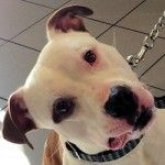 ADOPTED! Prince, An All American Beautiful Bully Mix in Troy, NY!