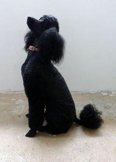 Standard poodle sitting pretty #Poodle