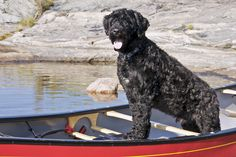 I had a thing for Portuguese Water Dogs even before President Obama adopted Bo. It would be fun to have one if I ultimately decided to live near water. Coren's personality also lists this breed as a good match.