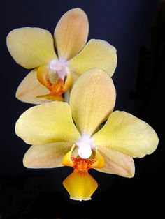 Moth-orchid: Phalaenopsis  'Ching Ruey's Gold'