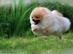 Pomeranian Dogs국빈카지노 HERE777.COM 국빈카지노 국빈카지노국빈카지노 국빈카지노