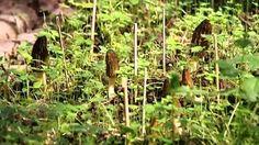 Dans un lieu tenu secret en Haute-Savoie, les morilles poussent par dizaines dans quelques mètres carrés. © France 3 http://alpes.france3.fr/2014/04/15/champignons-culture-de-morilles-en-haute-savoie-grace-un-professeur-chinois-459611.html