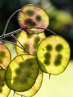 honesty seed pods by weirdcrank, via Flickr