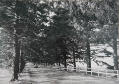 The driveway leading to the, since demolished, Belmont Mansion.  Have you seen these same trees along the Southern State Parkway? Image Credit: Long Island Parks